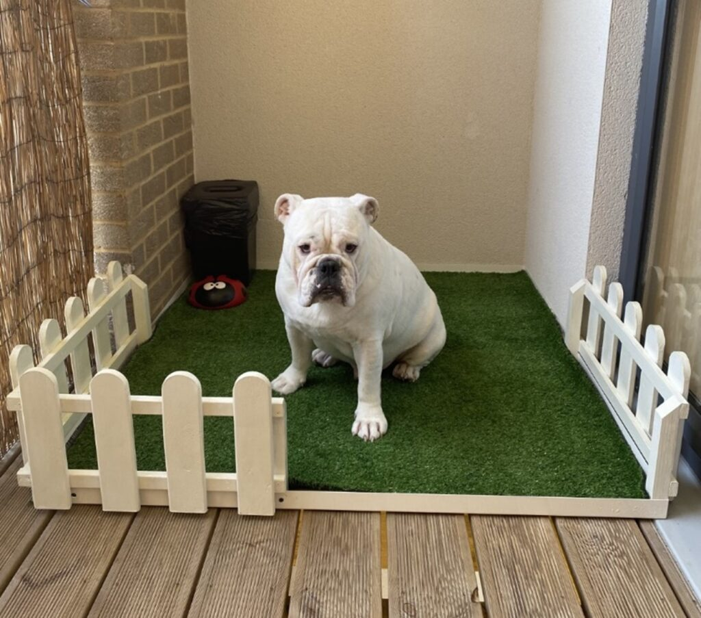 A Very Happy Bulldog sitting in the Litter Tray Created by the Red Box Team
